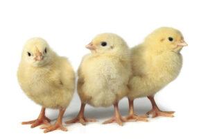drie kuikens